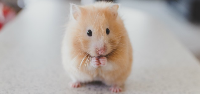 Photo of a Syrian Hamster